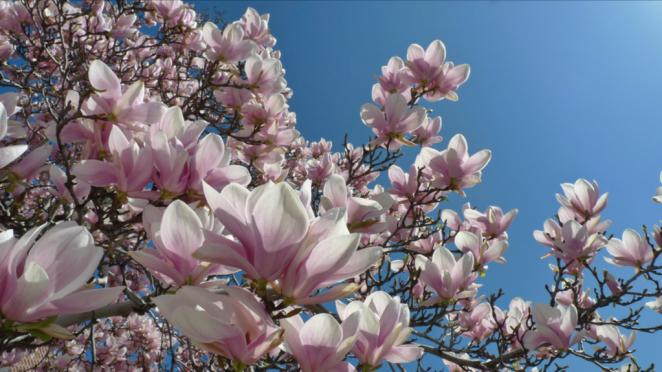 Magnolia street trees